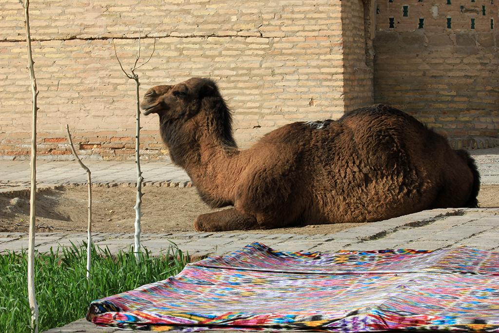 Camello Uzbekistan