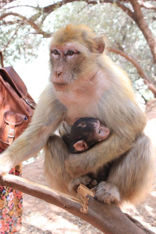Pequeño mono con su madre - Marruecos