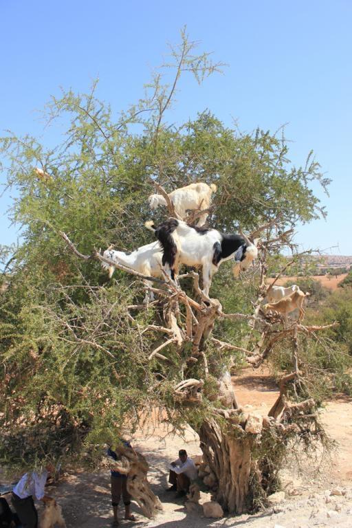 Cabras subidas a un árbol