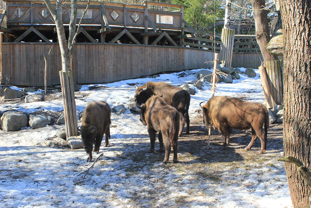 Búfalos en Skansen
