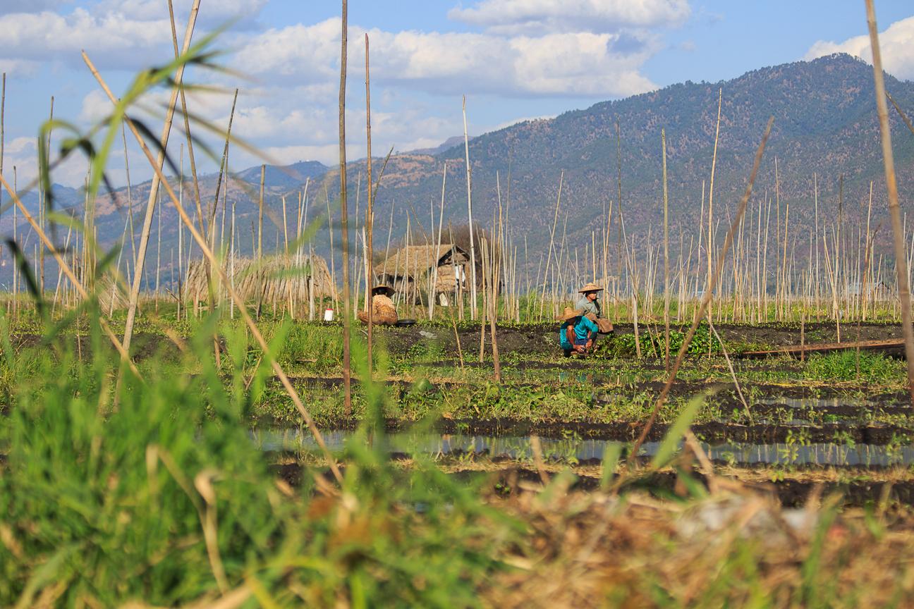 Agricultura sobre el lago Inle