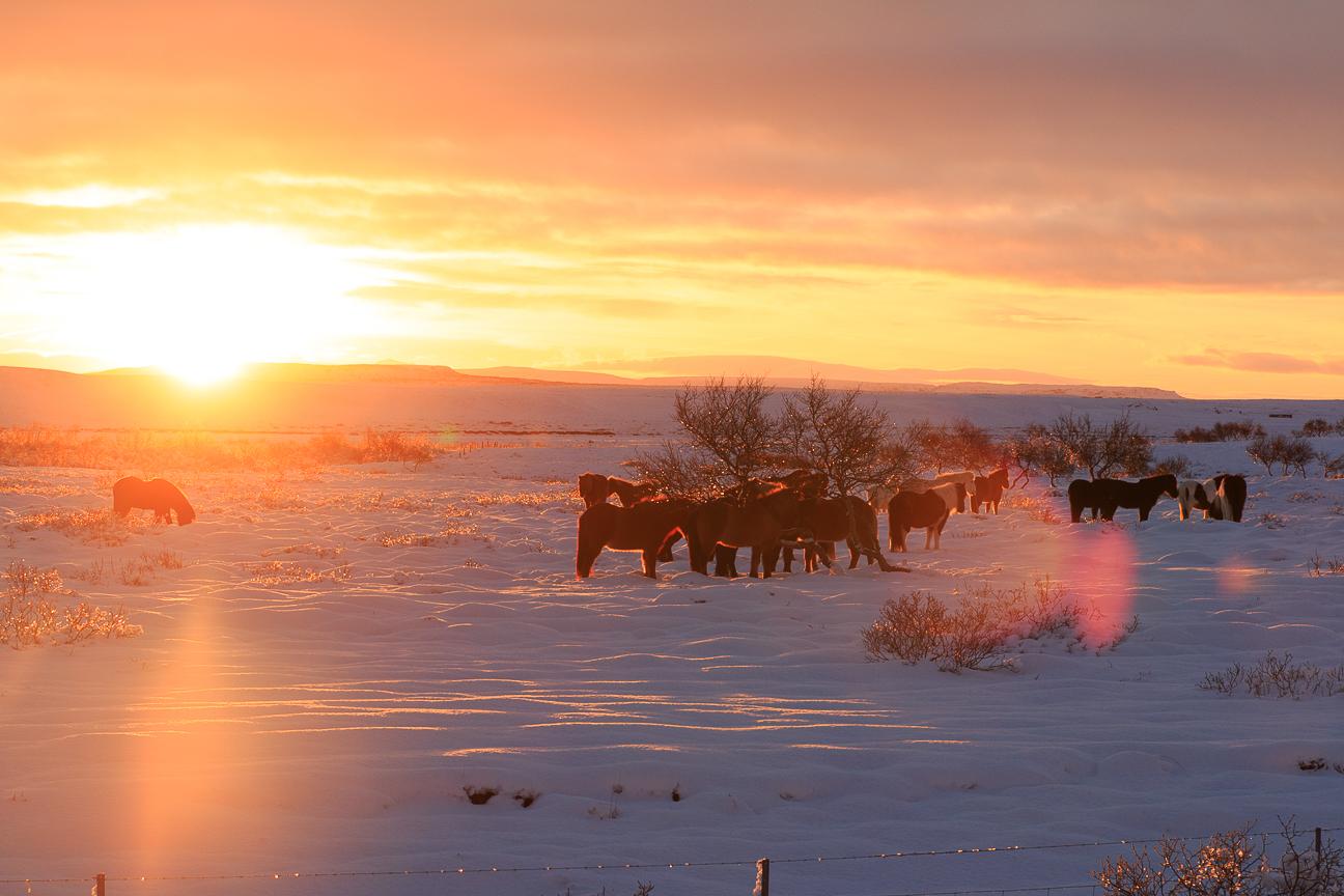 Amanecer junto a una manada de caballos islandeses