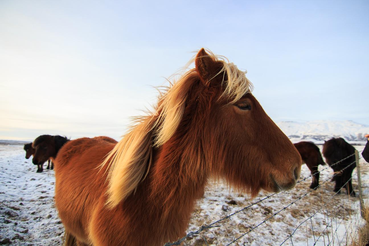 Caballo islandes en el circulo dorado de Islandia
