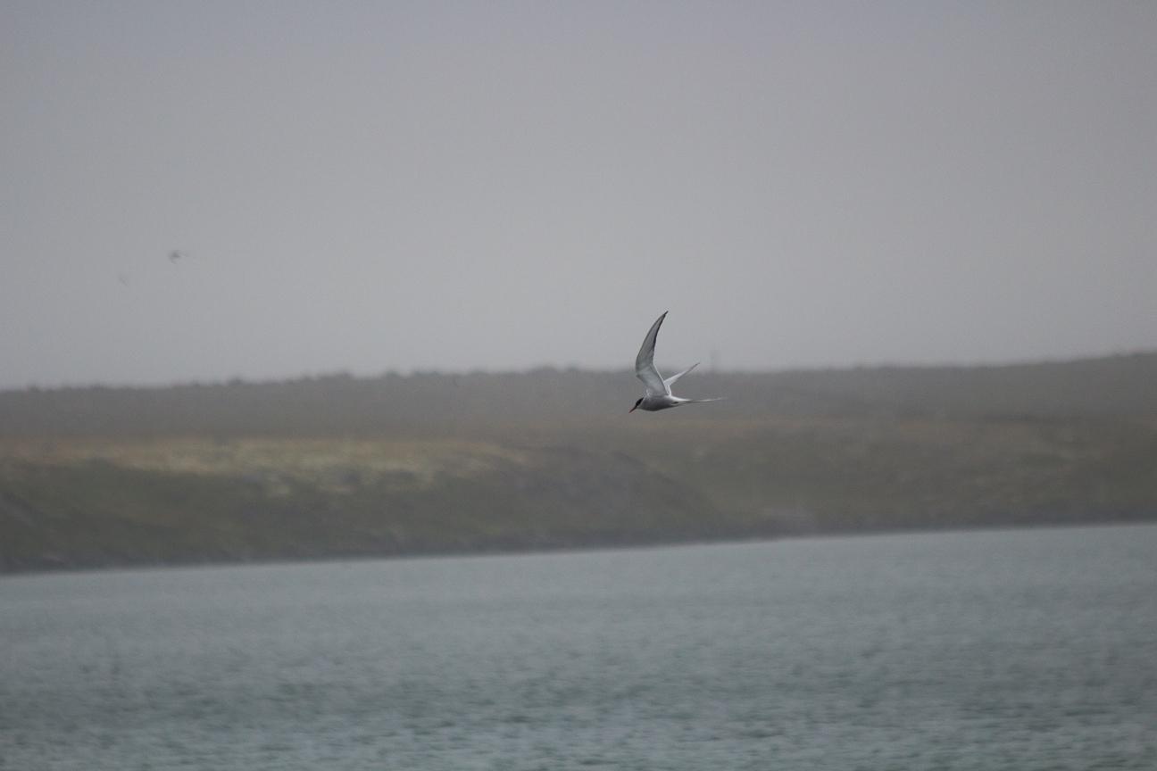 Charran artico volando
