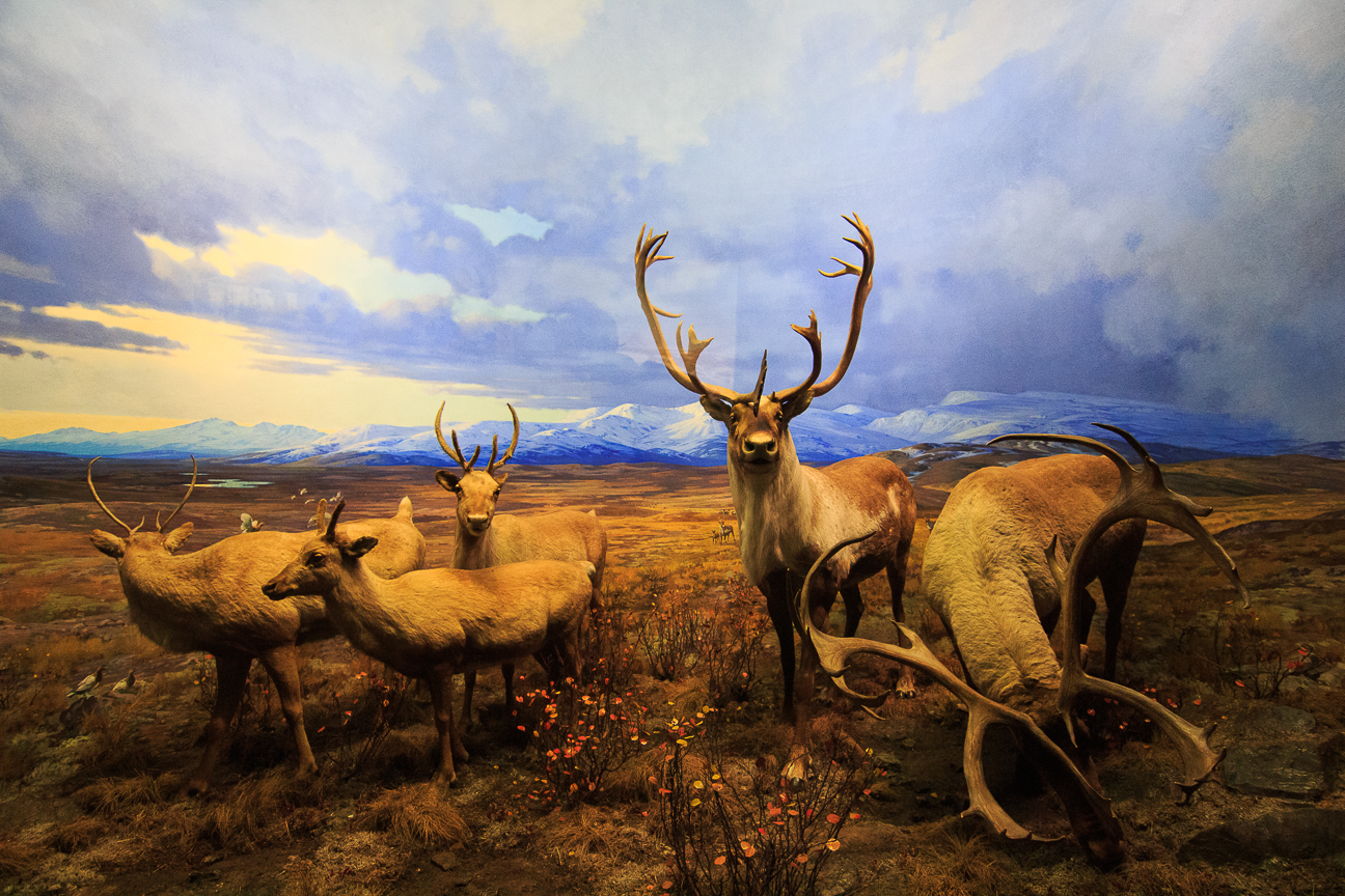 Ciervos en el Museo de Historia Natural de NY