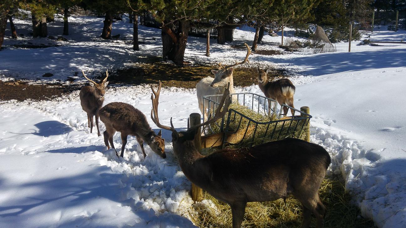 Ciervos en Andorra
