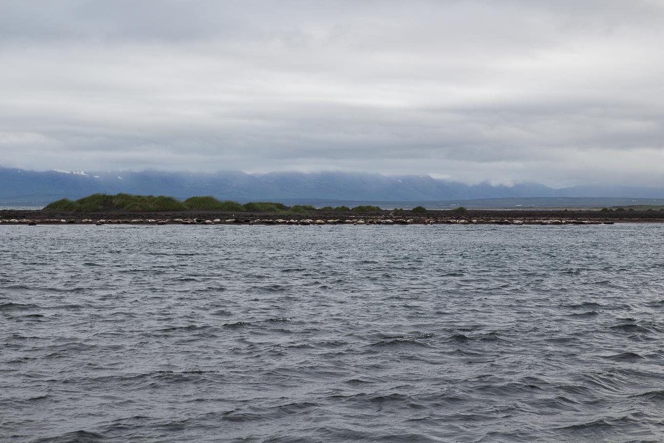 Decenas de focas en Islandia