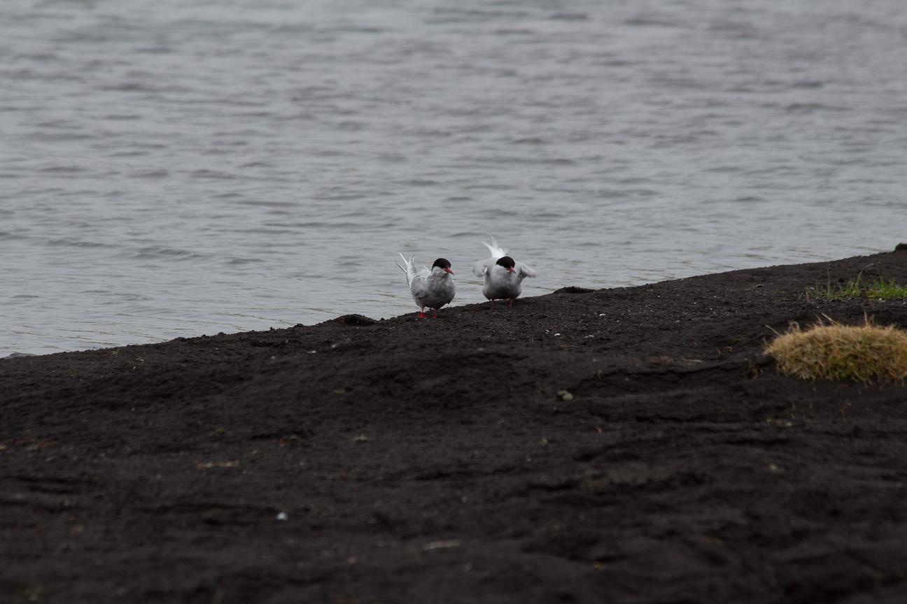 Dos charranes articos descansando