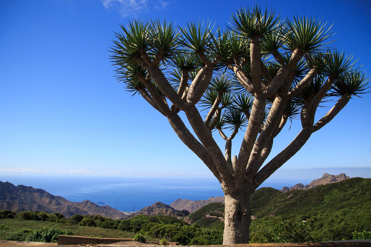 Draco en Anaga Tenerife