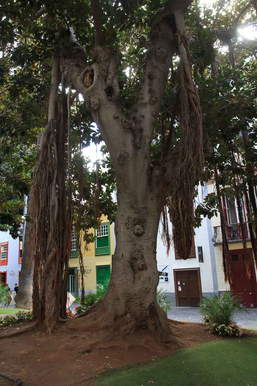 Ficus de raiz trepadora en Santa Cruz de Tenerife