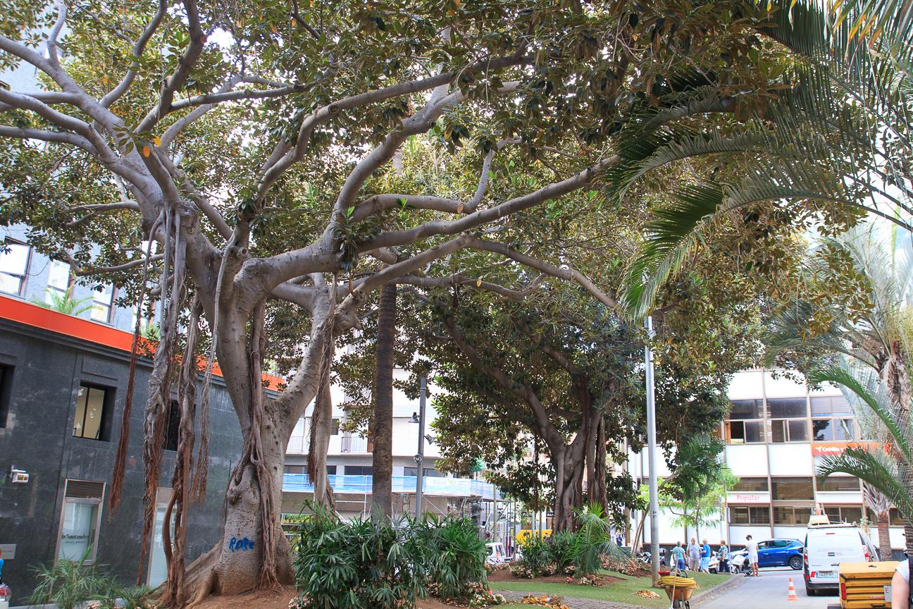Ficus de raiz trepadora frente a la Iglesia de San Francisco