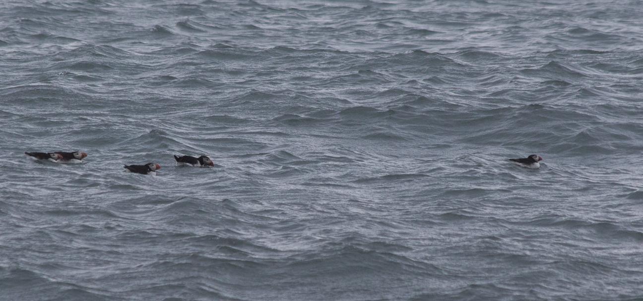 Frailecillos nadando cerca de Dyrholahey
