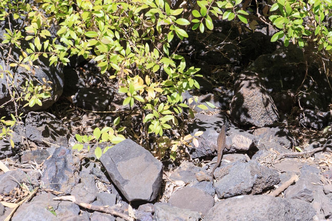 Lagarto en parque rural del Teno en Tenerife