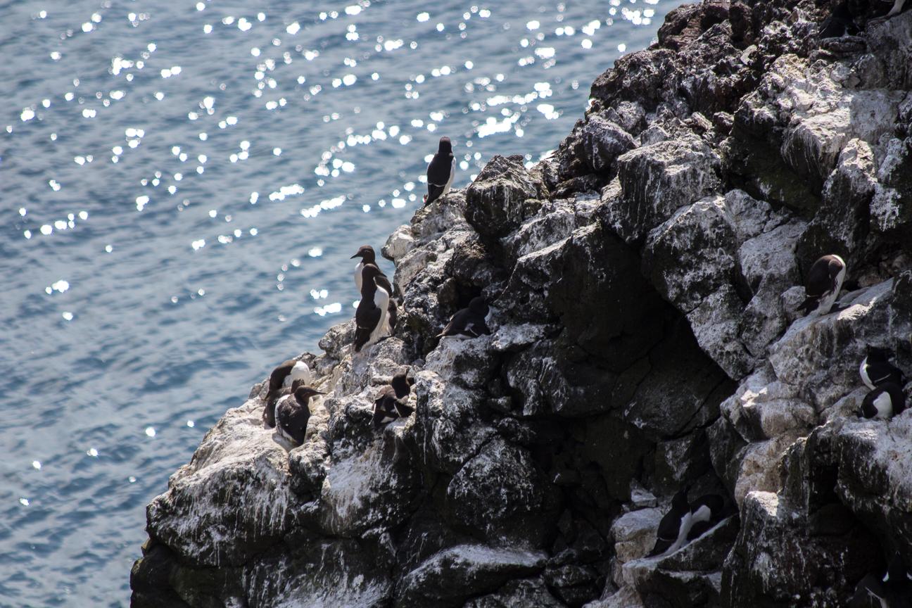 Otras aves en los acantilados