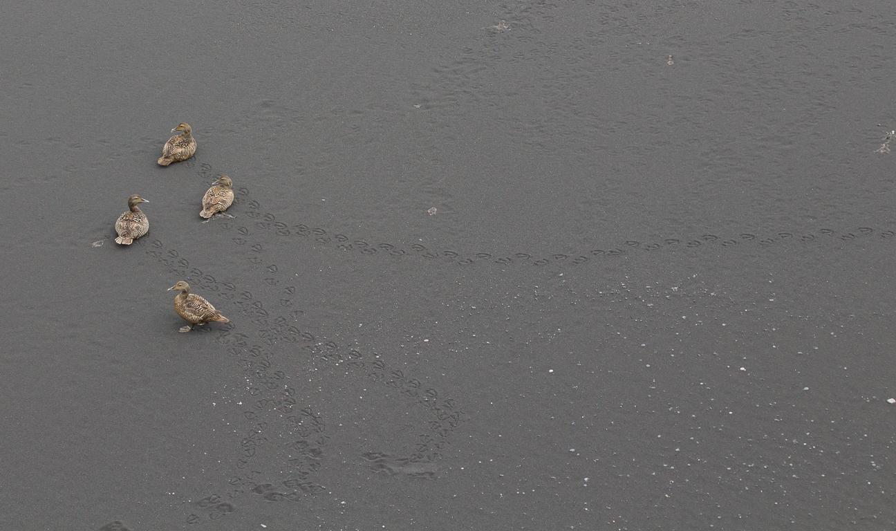 Patos en las playas de Vik