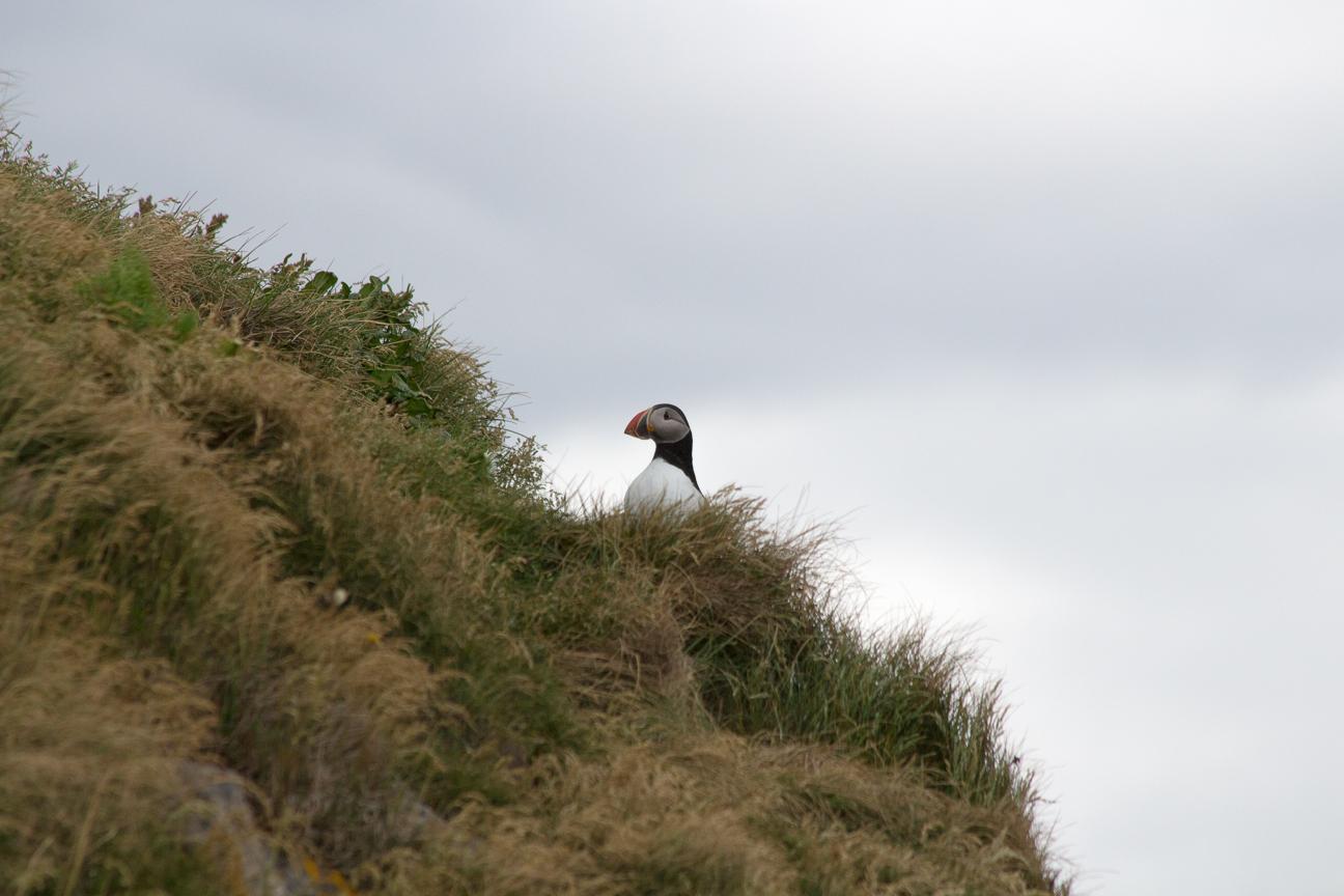 Primer frailecillo visto en Islandia