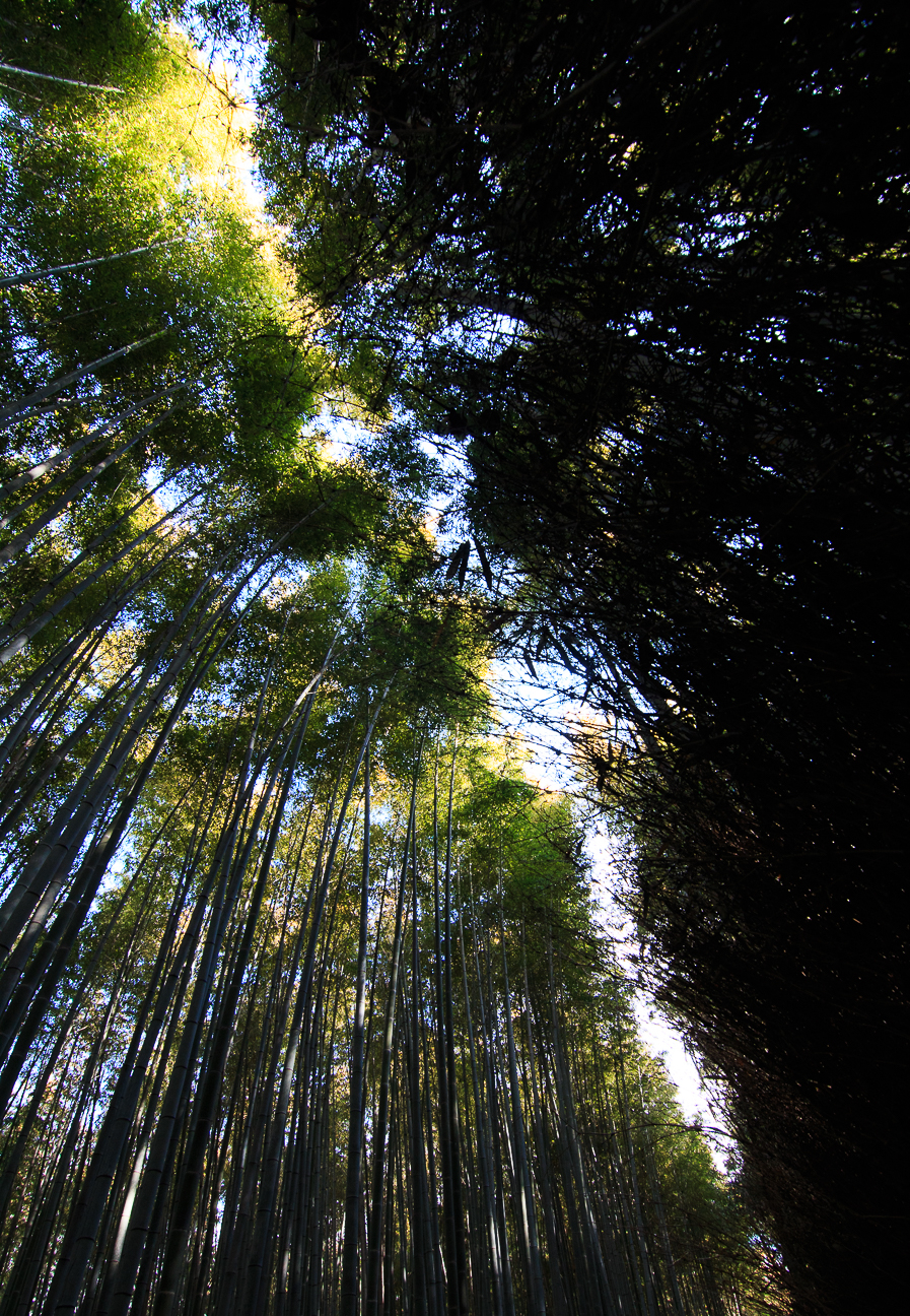 Que ver en Kioto bosque bambu Arashiyama