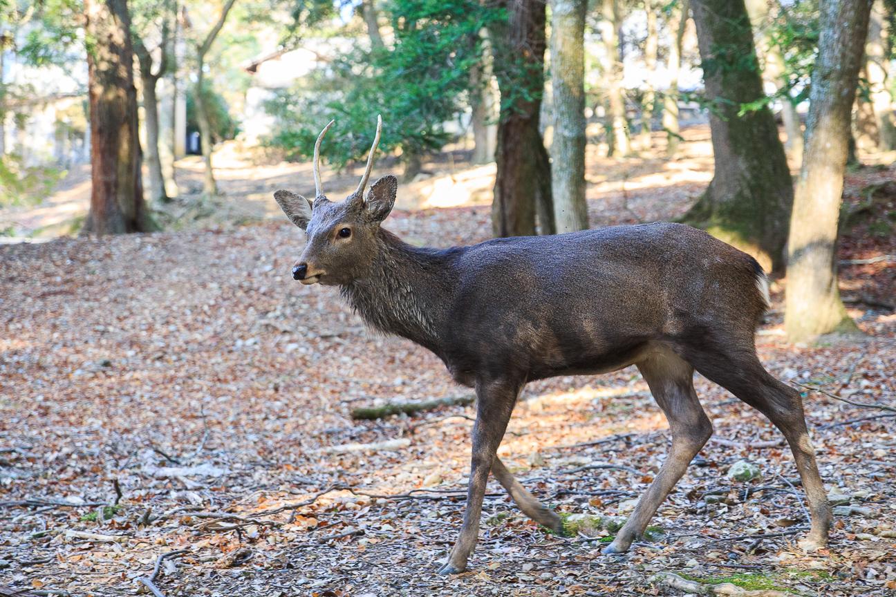 Que ver en Kioto ciervo en Nara