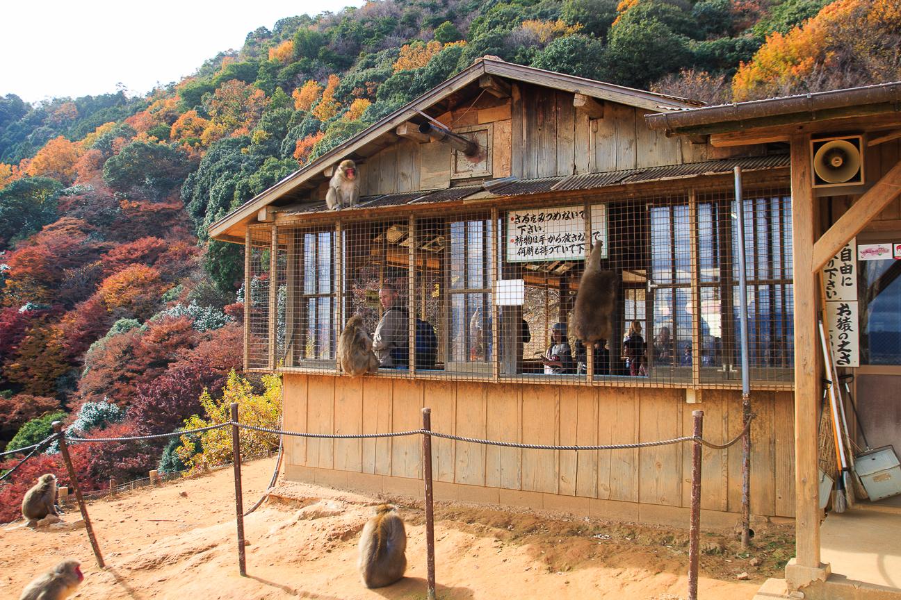 Que ver en Kioto monte monos de las nieves