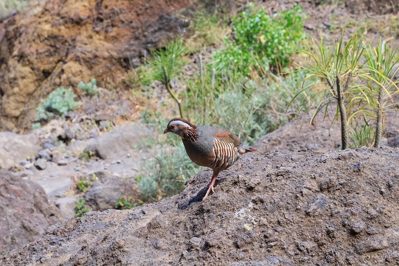 Que ver en Tenerife fauna en el barranco de Masca