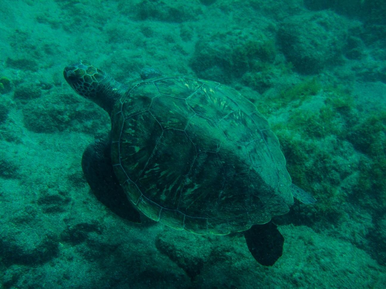 Que ver en Tenerife tortuga marina