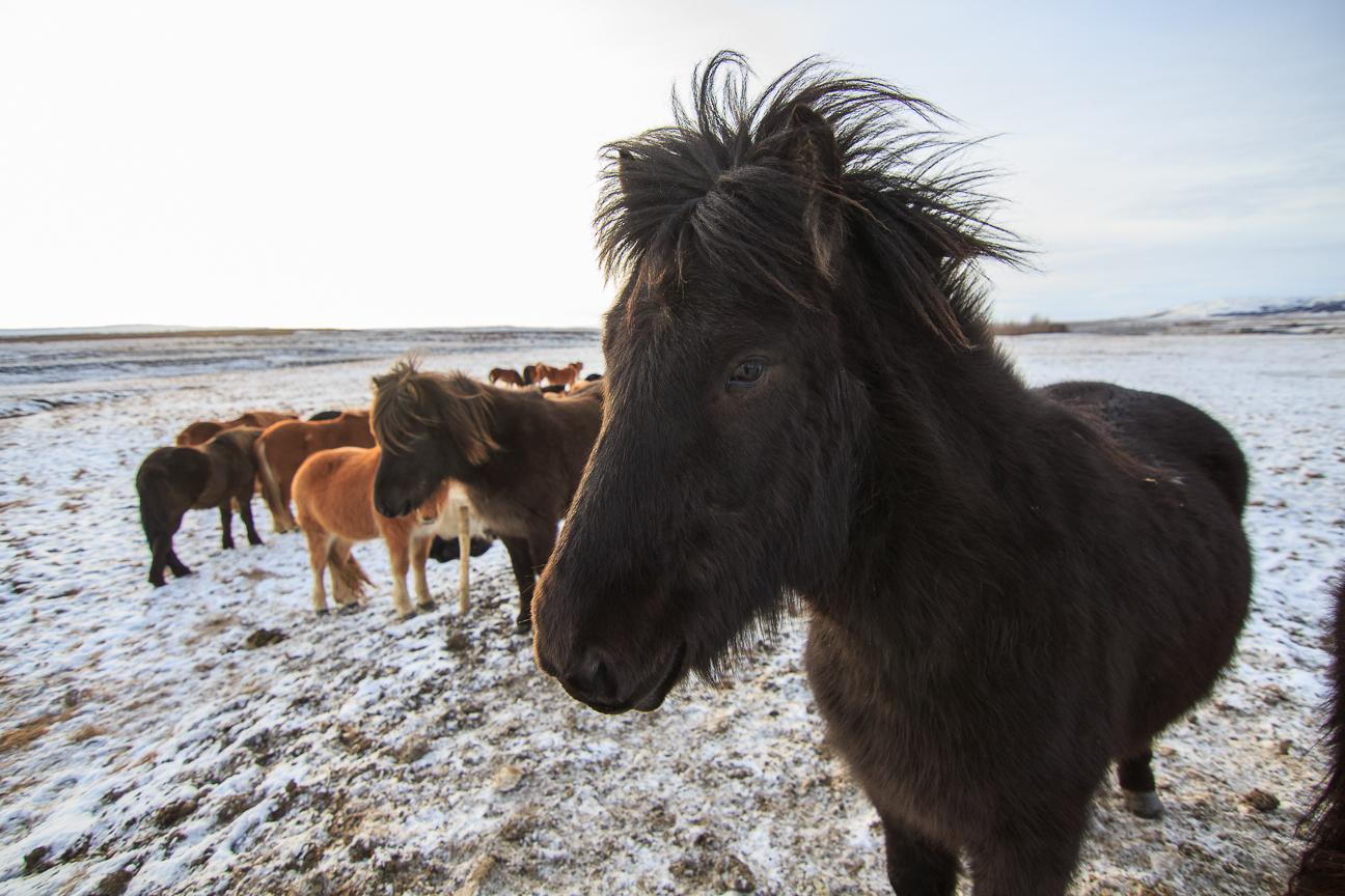 Viajar a Islandia - Caballos